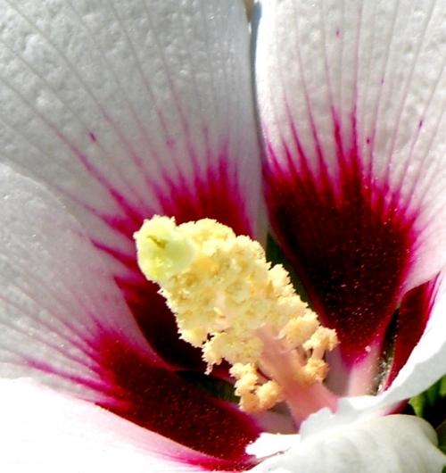 Cuore di ibiscus