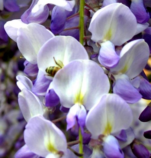 Sinfonia in viola con coda di vespa