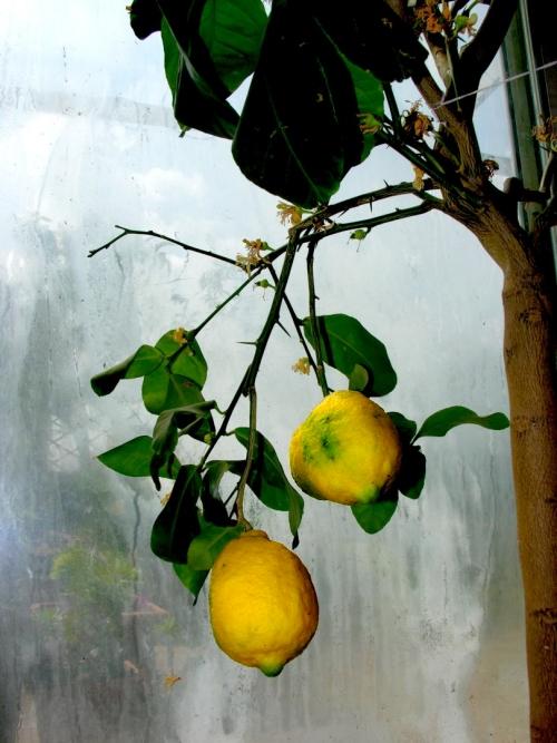 Limoni nella nebbia