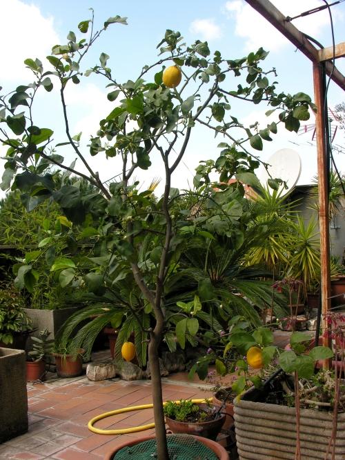 Il riposo del limone 2