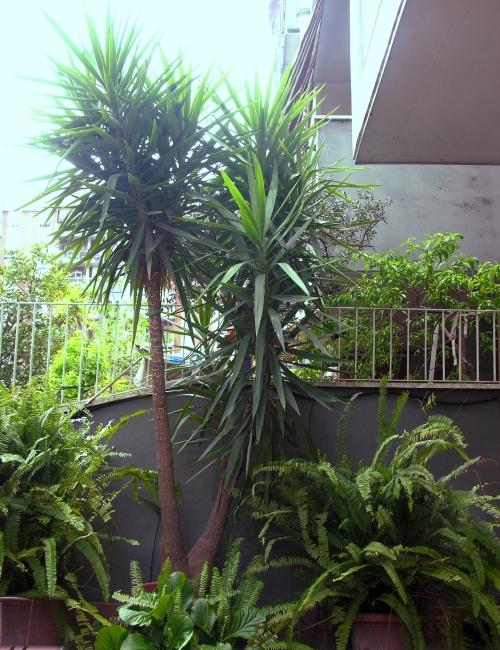 La grande yucca