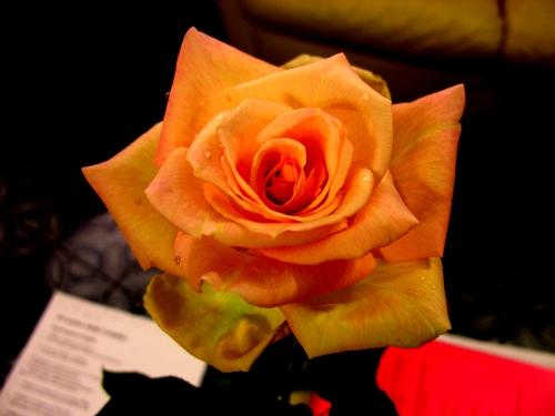 Rosa solare