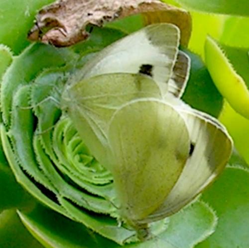 Anche le farfalle, nel loro piccolo... 2