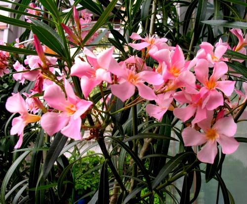 Affollamento in rosa