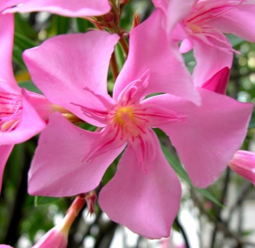 3 Girandola rosa